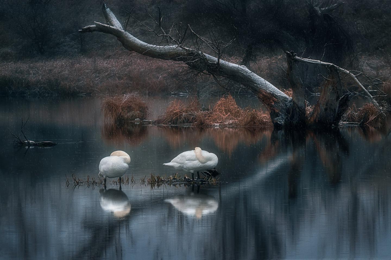Martin Kucera - Sleeping swans