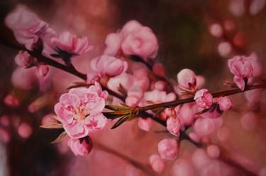 Flavor of cherry /Saveur de fleur de cerisier